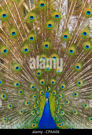 Male peacock displaying showing tail feathers - Stock Photo