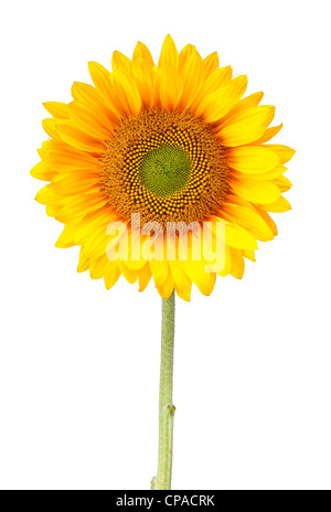 a sunflower isolated on white with clipping path - Stock Photo