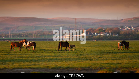 Marsh ponies graze on the flats at the Loughor Estuary near Penclawdd, West Wales. - Stock Photo