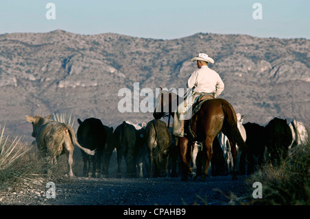 USA, West Texas. Cowboy driving some cattle towards shipping pens during a roundup on a West Texas ranch. - Stock Photo