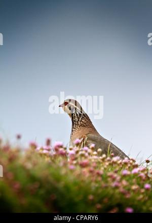 Red-legged Partridge on the Cornish Coast - Stock Photo