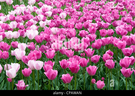 field with tulips on the floriade 2012 world horticultural expo - Stock Photo