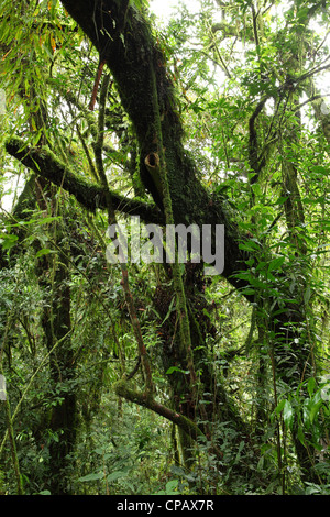 Vines, creepers and moss thrive under the dense canopy of the tropical rainforest in Nyungwe National Park, Rwanda. - Stock Photo