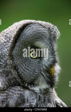 Great grey owl / Lapland owl (Strix nebulosa) close-up showing facial disc, Dalarna, Sweden - Stock Photo