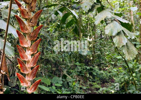 Hanging inflorescence of Heliconia velligera in tropical rainforest, Ecuador - Stock Photo