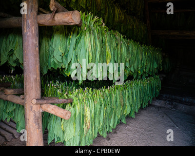Freshly cut tobacco leaves hang on wooden poles inside a tobacco drying barn before being made into cigars in Cuba. - Stock Photo