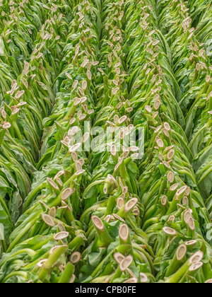 Freshly cut tobacco leaves hang on wooden poles in the tobacco field in preparation for their being dried in western - Stock Photo