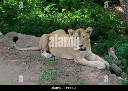 Indian Lioness (Panthera leo persica) - Stock Photo