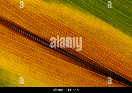 Cast Iron Plant: Aspidistra elatior, leaf starting to turning brown. - Stock Photo