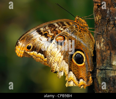 The Yellow-edged Giant Owl (Caligo atreus) is a butterfly of the Nymphalidae family. The species is found from Mexico - Stock Photo
