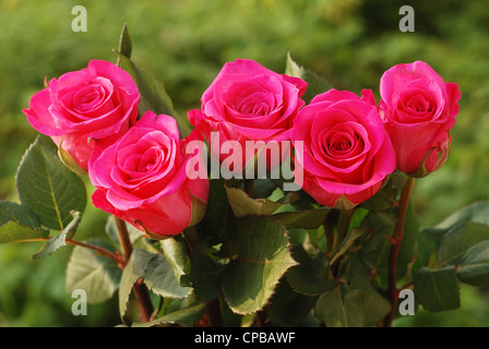 five scarlet beauty roses against green background - Stock Photo