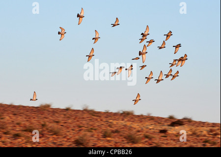 A group of European Turtle Dove fly over desert sky. - Stock Photo
