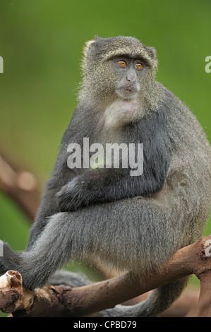 Blue monkey or diademed monkey (Cercopithecus mitis) in Lake Manyara national park in north Tanzania - Stock Photo