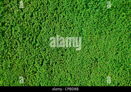 Tightly cropped border hedge texture or background - Stock Photo