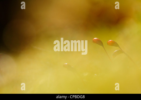 Close-up from Haircup moss. - Stock Photo