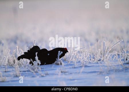 Black Grouse (Lyrurus tetrix) displaying, backlit by the rising sun