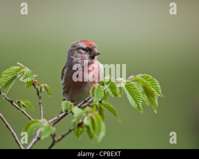 Close up of a male Lesser Redpoll (formerly considered a subspecies of Common Redpoll) on a hazel twig. Diffuse - Stock Photo