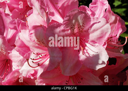 Close up of a pink rhododendron flower - Stock Photo