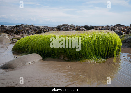 Bright coloured seaweed covering rock on Criccieth beach in North Wales, UK - Stock Photo
