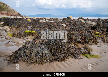 Seaweed on Criccieth beach in North Wales, UK - Stock Photo
