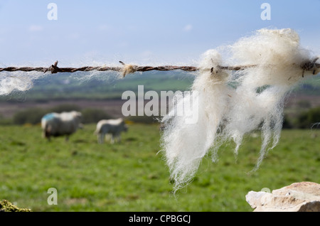 Sheep's wool caught on a barbed wire fence with sheep in the field beyond. UK, Britain - Stock Photo