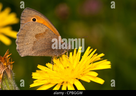 A meadow brown butterfly (Maniola jurtina) feeding on a dandelion flower at Downe Bank Nature Reserve, Kent. June. - Stock Photo