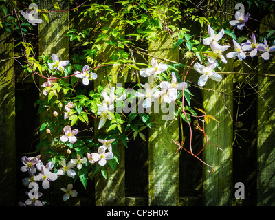 White Clematis plant in flower on a wooden picket fence in sunlight - Stock Photo