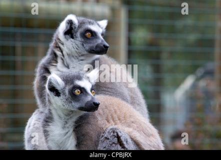 Ring Tailed Lemurs - Stock Photo