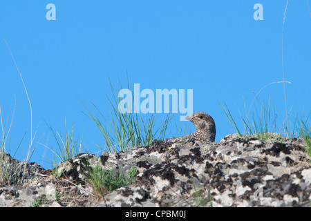 A female blue grouse (Dendragapus obscurus) blends in with her environment, Western Montana - Stock Photo