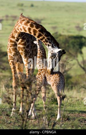 Female Masai Giraffe (Giraffa camelopardalis tippelskirchi) with baby, Masai Mara National Park, Kenya - Stock Photo