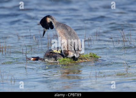 Podiceps cristatus, Pair of Great Crested Grebes mating on nest - Stock Photo