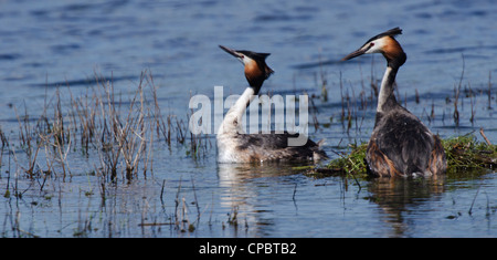 Podiceps cristatus, pair of Great Crested Grebes preparing a nest - Stock Photo