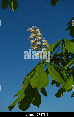 Blooming Horse Chestnut against the blue sky Rosskastanie Aesculus Hippocastanum - Stock Photo