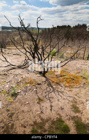 ground covering plant regrowth at site of forest fire at Frensham Little Pond in Surrey - Stock Photo