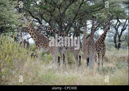 Rothschild's giraffe - Uganda giraffe (Giraffa camelopardalis rotschildi) flock resting in the shadow - Stock Photo