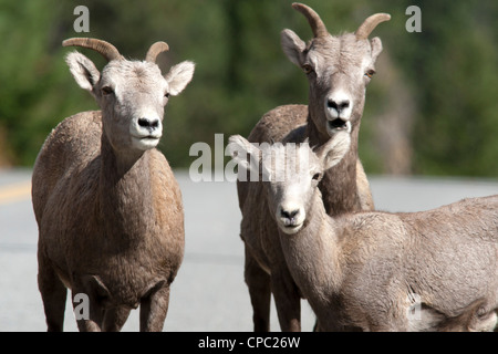 A closeup of two bighorn ewes and a lamb. - Stock Photo