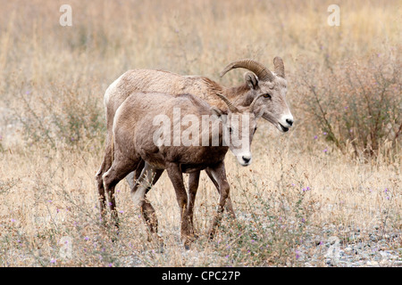 A bighorn ewe and lamb together in a field in Montana. - Stock Photo