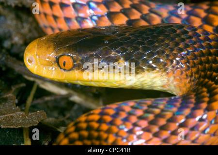 Yellow-headed calico snake (Oxyrhopus formosus) - Stock Photo