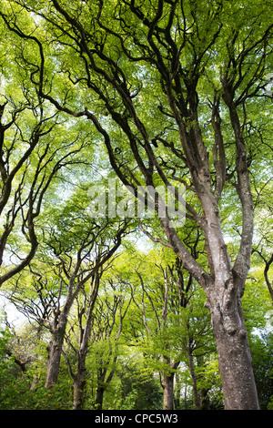 Fagus sylvatica. Beech trees in Devon countryside. England - Stock Photo