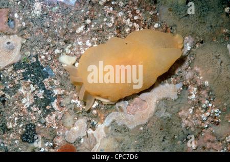 Yellow-plumed sea slug (Berthella plumula: Pleurobranchidae) in a rockpool UK - Stock Photo