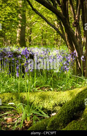Springtime Bluebell Wood - Stock Photo