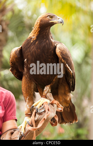 Handler with Beautiful California Golden Eagle Against Foliage Background. - Stock Photo