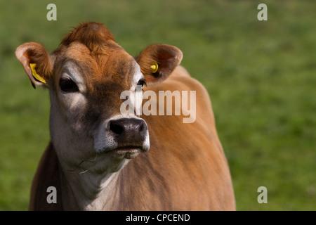 Jersey Calf, Hawes, North Yorkshire Dales, Richmondshire, UK - Stock Photo