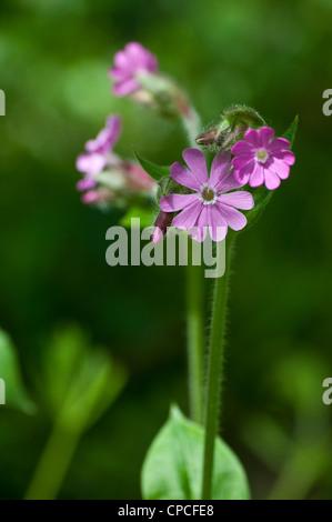 Red campion, Silene dioica, syn. Melandrium rubrum - Stock Photo
