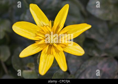 Lesser Celandine - Stock Photo