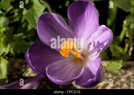 Flowering Crocus tommasinianus 'Ruby Giant' - Stock Photo