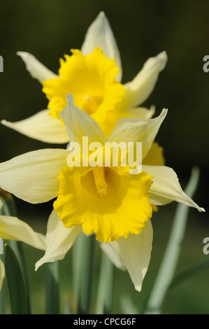 A wild species of daffodil (Narcissus pseudonarcissus) flowers in grassland - Stock Photo