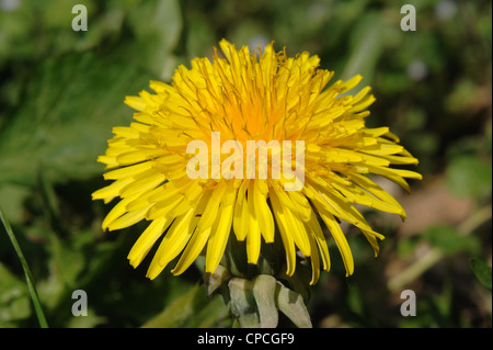 Dandelion (Taraxacum officinale) flower - Stock Photo