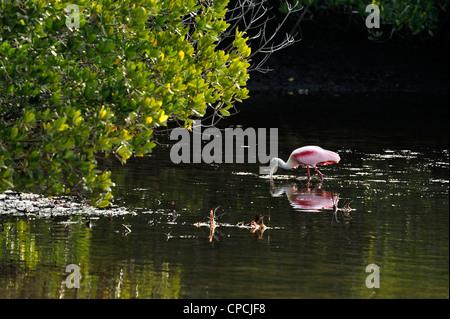 Roseate spoonbill (Ajaia ajaja), Ding Darling NWR, Sanibel Island, Florida, USA - Stock Photo