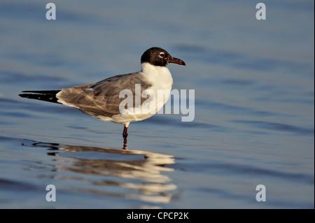 Laughing gull (Larus atricilla), Ft. De Soto Park, St. Petersburg, Florida, USA - Stock Photo